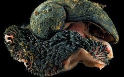 Ốc sên chân vảy: Loài động vật duy nhất trên trái đất có thể biến sắt trở thành lớp áo giáp một cách tự nhiên