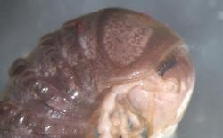 Chỉ từ 1 tấm ảnh trên Twitter, các nhà khoa học phát hiện một loại sinh vật ký sinh hoàn toàn mới