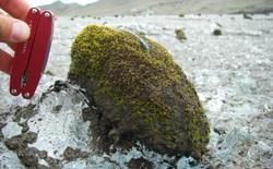 Chuột sông băng: những cục rêu dẻo như bánh nếp biết tự di chuyển làm đau đầu giới khoa học