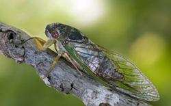 Tại sao đôi cánh mỏng manh của ve sầu lại là cơn ác mộng đối với mọi loài vi khuẩn?