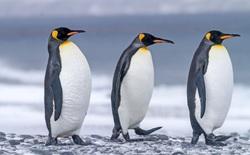 """Nghiên cứu mới: Phân chim cánh cụt tạo ra khí gây cười, hít thở không khí trong khu vực thôi cũng đủ """"quặn ruột"""""""