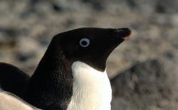 """Ở Nam Cực, có loài chim cánh cụt """"đại tiện"""" ra đường phân dài tới 1,34 mét"""