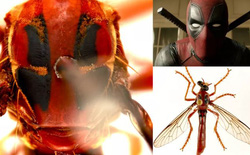 Úc: Giới khoa học đặt tên các loài côn trùng mới theo Stan Lee và nhiều siêu anh hùng của Marvel