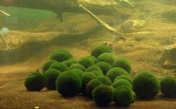 """Marimo: Loài tảo cầu cực kì """"đáng yêu"""" đang dần trở thành trào lưu chăm sóc như thú cưng tại Nhật Bản"""
