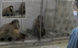 Nghiên cứu mới cho thấy loài khỉ cũng có cảm giác bất công giống như con người