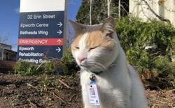 """Chú mèo hoang được tuyển vào làm nhân viên chính thức sau 1 thời gian """"mặt dày"""" lang thang trong khuôn viên bệnh viện"""