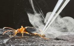Carabidae: Loài bọ tí hon có thể thả ra những quả bom nhiệt lên tới gần 100 độ C