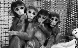 Thí nghiệm tâm lý về tình mẫu tử tàn nhẫn nhất của nhân loại đối với động vật