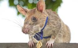 Một con chuột vừa được trao 'huy chương dũng cảm' vì sở hữu kỹ năng dò mìn tuyệt đỉnh