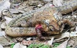Các nhà khoa học kinh hoàng trước hành vi chưa từng thấy trước đây ở loài rắn