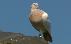 Bay nhầm từ Mỹ đến Úc, một con chim bồ câu bị kết án tử hình