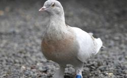 Bị nghi bay nhầm từ Mỹ đến Úc, con chim bồ câu may mắn thoát án tử hình vào phút chót