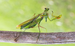 Những con bọ ngựa đực đang tiến hóa để không bị bọ ngựa cái ăn thịt sau giao phối