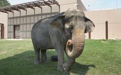 Dù bị nhốt nhưng voi trong sở thú vẫn chăm tập thể dục hơn cả con người