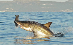 Thế giới đã mất 70% số cá mập chỉ trong 50 năm