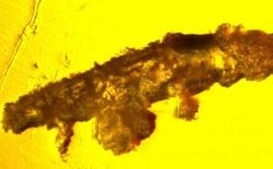 Phát hiện ra con gấu nước trong hổ phách 16 triệu năm tuổi, nguyên vẹn bậc nhất từ trước tới nay