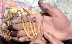 Thuốc chữa ung thư cải tiến từ hợp chất có trong đông trùng hạ thảo Himalaya