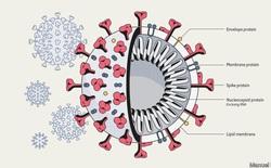 Biến thể virus SARS-CoV-2 tại Anh có thể làm tăng gấp rưỡi nguy cơ tử vong do COVID-19