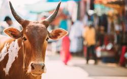 Tuyên truyền khoa học kiểu Ấn Độ: Sữa bò chứa vàng kim loại, phân bò chặn được bức xạ hạt nhân