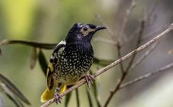 Loài chim quý hiếm này có thể sẽ bị tuyệt chủng vì chúng đã quên mất cách gọi bạn tình trong mùa giao phối