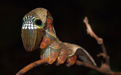 Loài sâu bướm này bắt chước một chiếc đầu lâu đáng sợ để đe dọa những kẻ săn mồi có ý định tấn công chúng