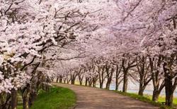 Tác động của biến đổi khí hậu: Hoa anh đào Nhật Bản nở sớm nhất trong vòng 1.200 năm nay