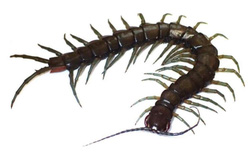 Phát hiện loài rết mới với kích thước khổng lồ chuyên kiếm ăn trên sông ở Nhật Bản