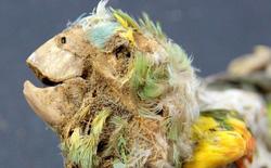 Bí ẩn xác ướp của những con vẹt rừng nhiệt đới bên dưới sa mạc Atacama