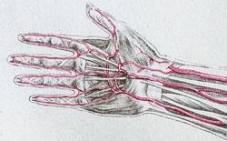 Loài người vẫn đang tiếp tục tiến hóa, bạn có thể có thêm một động mạch trong cơ thể và nó đang phát triển rất nhanh chóng