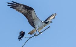 """Nhiếp ảnh gia chụp được khoảnh khắc khó tin: Một con chim như đang """"quá giang"""" trên nhành cây mà một con chim khác đang mang đi"""
