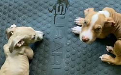 Một cặp vợ chồng ở Úc bị kết tội vì nuôi hai chú chó con nhưng chỉ ăn chay