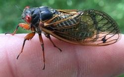 """Hà cớ gì ve sầu bé nhỏ kêu to thế? Lấy loài ve """"ngủ đông"""" 17 năm làm ví dụ, chuyên gia côn trùng học giải thích cho bạn lý do tại sao"""