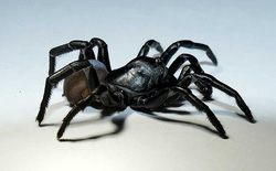 Phát hiện loài nhện độc bí ẩn ở Florida