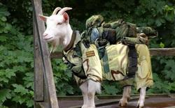 Mỹ triển khai một đội quân dê để ngăn chặn nguy cơ cháy rừng