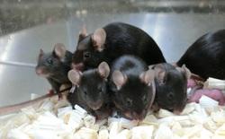 Sau gần sáu năm trên trạm vũ trụ, tinh trùng chuột đông lạnh tạo ra những chú chuột con khỏe mạnh
