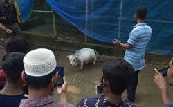 Bất chấp Covid-19 đang bùng phát, dân Bangladesh đổ xô đi chụp ảnh selfie với con bò nhỏ nhất thế giới