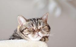 Loài mèo cực ghét việc bạn ở nhà với chúng suốt cả ngày trong thời gian giãn cách xã hội