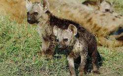 Có mặt trên 1/3 dân số, loài ký sinh trùng thao túng hành vi này khiến linh cẩu không biết sợ, hung hăng lại gần sư tử