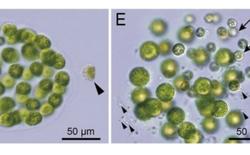 Phát hiện mới: tảo cũng có thể mang giới tính thứ ba