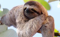 Tại sao những con lười lười thế mà không bị tuyệt chủng?