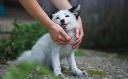 """Những con cáo đang theo bước tiến hóa của loài chó, chúng sống gần người hơn và mặt trông cũng """"cute"""" hơn"""