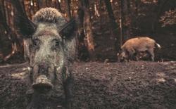 Lợn hoang gây gây ô nhiễm khí hậu tương đương hơn 1 triệu ô tô mỗi năm