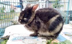 Con thỏ hiếm nhất thế giới được giải cứu sau khi được phát hiện trên Facebook