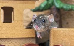 Các nhà khoa học dạy chuột chơi trốn tìm, nhưng họ thì đi trốn còn chuột thì đi tìm