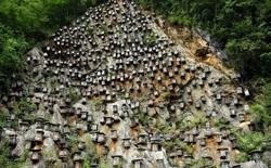 Độc đáo khu bảo tồn ong hoang dã trên vách núi ở Trung Quốc