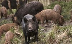 """Một đàn lợn rừng làm việc """"teamwork"""" để giải cứu hai con lợn bị kẹt trong bẫy"""