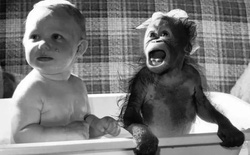 Đười ươi và tinh tinh có thể học nói khi nó được lớn lên như một con người không?