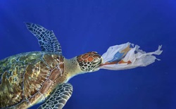 Báo động tình trạng rùa biển con đang nuốt phải rác thải nhựa ngày càng nhiều