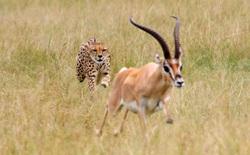 9 loài động vật nhanh nhất trên cạn, dưới nước và trên trời, sức người không có cửa thắng
