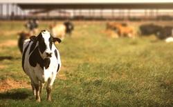 Các nhà khoa học đang dạy những con bò cách dùng nhà vệ sinh